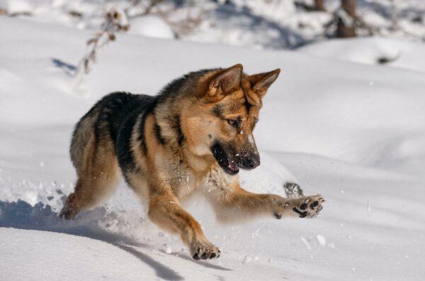 most adventurous dog breeds german shepherd