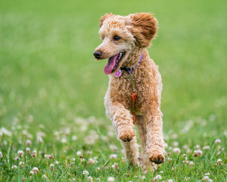 Poodle - most adventurous dog breeds